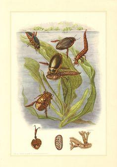 1956 Predaceous Diving Beetles Dytiscidae by CabinetOfTreasures
