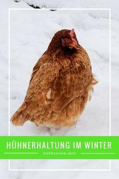 Hühnerhaltung im Winter - Was ist zu beachten? Hühnerstall winterfest machen Hühnerstall heizen? Was brauchen Zwerghühner im Winter? Tipps für eisfreie Hühnertränken