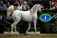 2014 ABWC Gallery :: AHBA - Arabian Horse Breeders Alliance