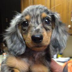dorkie puppies dachshund, dachshund nursery, funny cats and dogs Dachshund Funny, Dachshund Puppies, Weenie Dogs, Dachshund Love, Pet Dogs, Chihuahua, Dog Cat, Daschund, Funny Cats