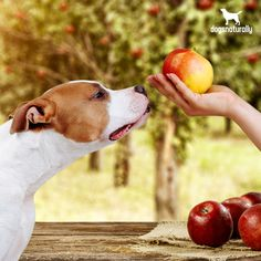 An apple a day can keep more than your doctor away …   But wait, aren't apples poisonous to dogs?   Yes, apple seeds contain cyanide...   But here's why you shouldn't be afraid to share this crisp treat with your pet: