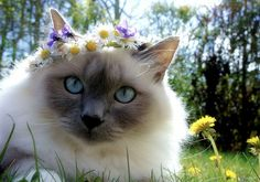 This flower crown kitten with the sweetest eyes in all the land. Description from pinterest.com. I searched for this on bing.com/images