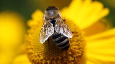Northern Europe hit by most bee deaths - EU study