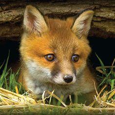 Fox Cub Photographic Blank Greetings Card £1.99
