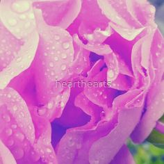 A beautifully delicate magenta rose showered in water droplets after the rain. Purple Flower Photos, Purple Flowers, Water Droplets, Rose Petals, Top Artists, Magenta, Rain, Delicate, Plants
