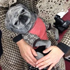 black grey old pug ♡ how cute!! & Stylish