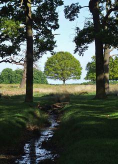Oak tree by stream in Richmond Park