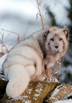 How is this a real animal!! So cute and wise! Arctic Fox by SeraD