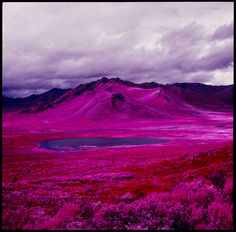 """Daniel Zvereff using discontinued, magenta-hued film:  """"infrared-sensitive, false-color reversal film."""" Plant life turns to a majestic red or purple hue while non-plant life often renders in grey..."""