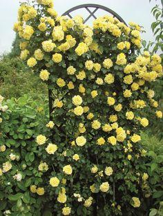 trellis for climbing roses - Google Search
