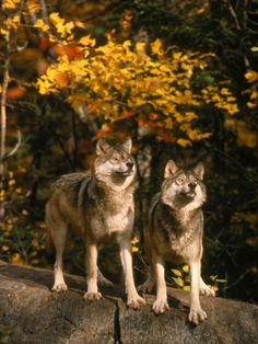 Two alert timber wolves standing on a rock  Picture by Donald B. Grall