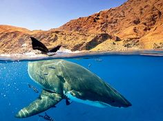 thingsofthewild:  kallousmdiscern:  Carcharodon carcharias  Such an incredible animal…  Wicked shot