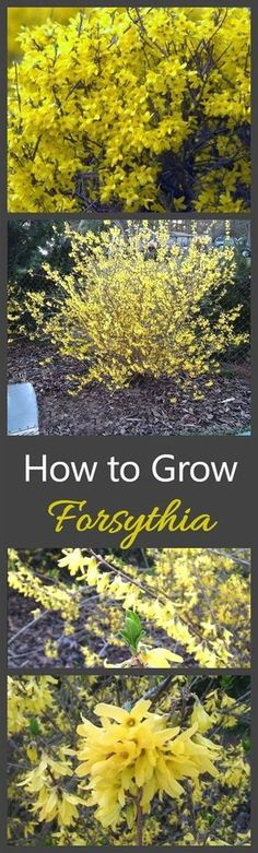 Growing Forsythia bushes will give you a plant that screams spring like no other. The vibrant yellow color of these perennials is wonderful. #LandscapingIdeas