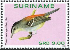 Suriname 2014 - El Tiluchí Piojito, también denominado Hormiguerito Piojito, Hormiguerito Lomirrojo u Hormiguerito de Alas Cenicientas. Se encuentra en Colombia, Ecuador, la Guayana Francesa, Guyana, Perú, Surinam, Venezuela y el noroeste de Brasil.