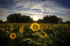 Sunflowers at sunset in rural Boone County Missouri by Notley Hawkins Photography. Taken with a Canon EOS 5D Mark III camera with a Canon EF16-35mm f/4L IS USM lens at ƒ/16.0 with a 1/200 second exposure at ISO 200 along with a Quantum Qflash Trio with a yellow gel. Processed with Adobe Lightroom 6.4.  http://www.notleyhawkins.com/