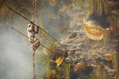 Σήμερα, περιτριγυρισμένος από εκατοντάδες άγριες μέλισσες των Ιμαλαϊων, ο Νεπαλέζος της φωτογραφίας προσπαθεί με δύο μεγάλα μπαμπού καλάμια, καπνό και ένα καλάθι να μαζέψει μέλι από τεράστιες κηρήθρες-φωλιές των μελισσών - See more at: http://waxcreations.gr/paragwgos.html#sthash.KEAJdDXA.dpuf