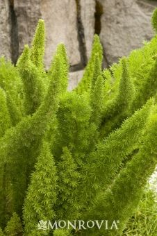 Foxtail Fern - Monrovia - Foxtail Fern zone 9-11 This unusual evergreen fern adds textural contrast to perennial beds and borders. Long, plume-like stems hold soft, needle-like leaves. Develops red berries in fall