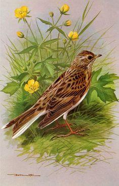 Skylark - 1980 Vintage Bird Print by Basil Ede Wildlife Paintings, Wildlife Art, Animal Paintings, Bird Illustration, Illustrations, Birds Of America, Bird Artwork, Tier Fotos, Vintage Birds