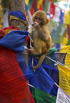 Young monkey sitting on prayer flags tied on a pole, Tibetan Buddhist temple, Darjeeling, India