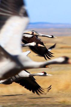 Cranes (Grus grus) in flight in the Gallocanta Lake, Spain