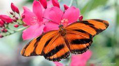 Orange Barred Tiger Butterfly #SunKuWriter #Portugal FREE Books ► http://Sun-Ku.com ◄