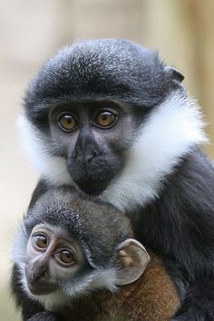 L'Hoest monkies
