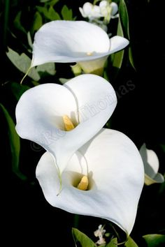 """White Giant"" Calla Lily also known as ""White Florist""...excellent cutting flower 24""-36"" tall"