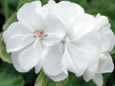 Tamie pelargonium