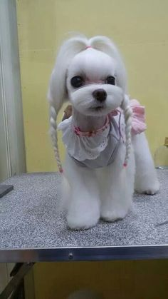 Teacup Dogs - Tiny Dog Breeds With Huge Personalities Teacup Dog Breeds, Teacup Puppies, Puppies And Kitties, Cute Puppies, Cute Dogs, Poodle, Dog Grooming Styles, Sweet Dogs, Dog Haircuts