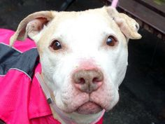 TO BE DESTROYED 4/2/14 Manhattan Center -P  My name is VELVET. My Animal ID # is A0995073. I am a female tan and white pit bull mix. The shelter thinks I am about 9 YEARS old.  I came in the shelter as a STRAY on 03/28/2014 from NY 10454, owner surrender reason stated was STRAY. https://www.facebook.com/photo.php?fbid=779613845384830&set=a.611290788883804.1073741851.152876678058553&type=3&theater
