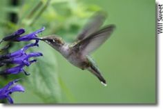 Attract Humming Birds! leadimascio