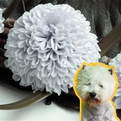 ▷ WESTI, Como peinarlo PASO a PASO ✔️ Terrier, Grains, Mantle, Ferrets, Hair, Terriers, Seeds, Korn