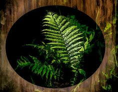 """Check out new work on my @Behance portfolio: """"Northern Fern"""" http://be.net/gallery/53500817/Northern-Fern"""