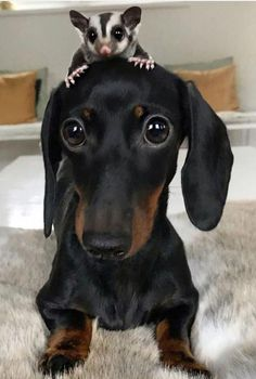 "Receive excellent suggestions on ""Dachshund dogs"". They are readily available for you on our site. Dachshund Funny, Dachshund Puppies, Weenie Dogs, Dachshund Love, Funny Dogs, Cute Puppies, Cute Dogs, Daschund, Standard Dachshund"