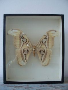 Oude vlindervitrine SOLD | Interior accessories | sjebbiez #butterflydisplay