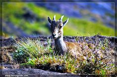 """The Great Himalayan National Park (GHNP), is located in the Kullu region of Himachal Pradesh. The GHNP is a habitat for many plants and over 375 species of wildlife, including about 31 mammals, 181 birds, three reptiles, 9 amphibians, 11 annelids, molluscs and 17 127 insects.  In June 2014, the GHNP was added to the UNESCO list of World Heritage sites, under the criteria of """"outstanding significance for the conservation of biodiversity""""."""
