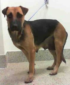 FLOWER (A1799158) I am a female tan and black German Shepherd Dog and Belgian Malinois. The shelter staff think I am about 2 years old. I was found as a stray and I may be available for adoption on 07/15/2016. — MIAMI DADE COUNTY ANIMAL SERVICES. https://www.facebook.com/urgentdogsofmiami/photos/a.477521308948944.116125.191859757515102/1236377239730010/?type=3&theater