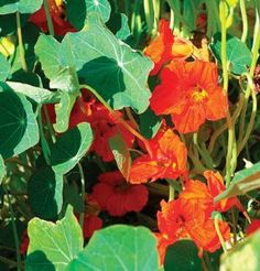 Flower Nasturtium Empress of India Scarlet 100 Heirloom Seeds by David's Garden Seeds by David's Garden Seeds. $4.92. Days to Bloom: 55 to 65. Germination rate: 85%. The compact, mounded plant habit makes it especially suitable for containers or as an edging plant. Scarlet flowers stand out amid the very dark green foliage of this old-fashioned favorite. Victorian era heirloom. Victorian era heirloom. Scarlet flowers stand out amid the very dark green foliage of this old-fashion...
