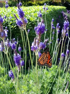 NORTHWEST BED Lavandula multifida canariensis complete with butterfly