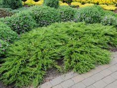 Juniperus sabina Buffalo. Фото с сайта www.baltezers.lv