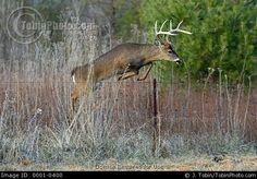 Stock Photo: White Tailed Deer Pic