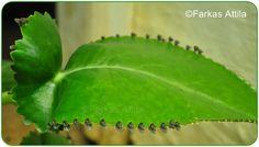 Kalanchoe daigremontiana Plant Leaves, Plants, Plant, Planets