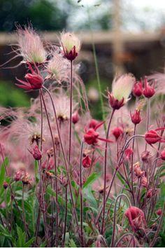 Geum triflorum (Prairie Smoke) is one of the most stunning and longest lasting p. - Geum triflorum (Prairie Smoke) is one of the most stunning and longest lasting prairie perennials, - Prairie Planting, Prairie Garden, Garden Cottage, Herb Garden, Garden Plants, Vegetable Garden, Garden Shade, Roses Garden, Gardening Vegetables