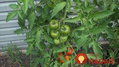 17 najlepších susedov: Ak zasadíte tieto rastliny vedľa seba, ušetríte za hnojivá aj postreky proti škodcom! Independence Day, Diy And Crafts, Gardening, Vegetables, Russian Recipes, Garden Ideas, Google Search, Vegetable Garden, Balcony
