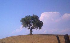 ulivo in Maremma