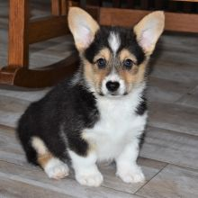 Pembroke Welsh Corgi Puppy Duke In 2020 Corgi Puppies For Sale Pembroke Welsh Corgi Puppies Corgi