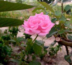 La rose, si rose qu'elle devrais rougir de sa beauté