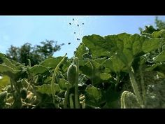 Amazing Slow-Motion Footage of Exploding Plants as They Burst Open to Disperse Their Seeds