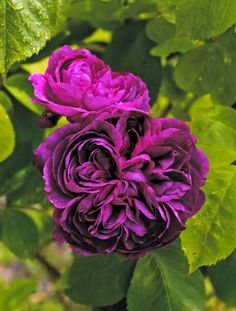 WSHG.NET   Care for Roses, Part 2 — Old Roses, Companions And Pests   Featured, For The Garden   June 11, 2015   WestSound Home & Garden