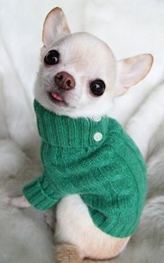 the white chihuahuas are really really cute... they all are, really.